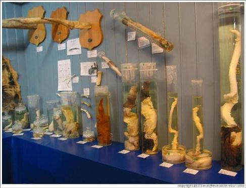 Icelandic Phallological Museum The Travel Masters