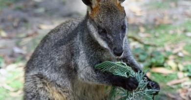 kangaroos forest